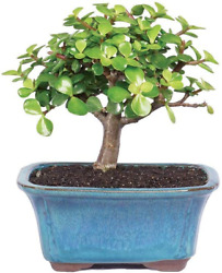 Brussel's Bonsai Tree Live Dwarf Jade Indoor 3y Old 4-6 Tall Container - Small