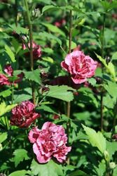 HIBISCUS SYRIACUS #x27;FRENCH CABARET RED#x27; PLANT APPROX 10 16 INCH 4quot; POT