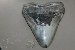 Megalodon Fossil Giant Shark Teeth All Natural Large 6.33 Huge Beautiful Tooth