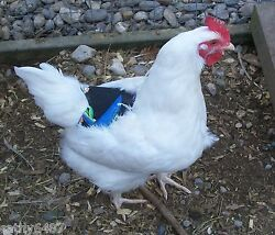 1 BANTAM CHICKEN SADDLE APRON HEN BACK PROTECTION POULTRY HATCHING EGGS