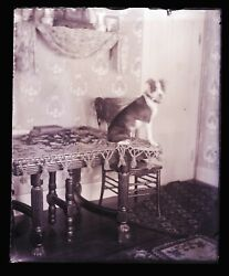 Late 1800s Early 1900s Glass Negative, Dog On Table, Poor Focus , Unknown Local