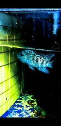 Super Electric Blue not Green Texas Cichlids Live Fish ridiculous from Thailand