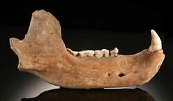 Well Preserved Cave Bear Jaw With Several Molars Excellent Canine Tooth