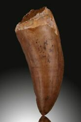 This Is A Great Sized Carcharodontosaurus Tooth For Any Collector