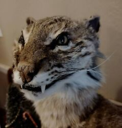 Bob Cat, Soft Mount, Pelt, Nature, Animal, Large, This Is A Very Large Bob Cat
