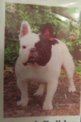 Black amp; White French Bulldog for every day use Small dog decorative Garden flag