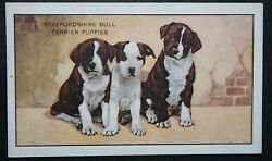 Staffordshire Bull Terrier Puppies Group Original 1930#x27;s Vintage Card # VGC