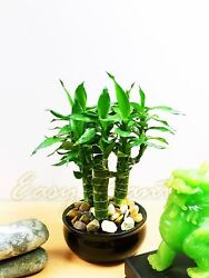 1 X Tiger Bamboo 3 Trunks Group Plant In Ceramic Pot House Feng Shui Cures Lucky