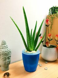 Aloe Vera Natural House Indoor Office Plant Colourful Self Watering Pot Andtopping