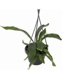 Staghorn Fern 6.5 Hanging Pot Plant Exotic Live Houseplant Flowers Best Gift