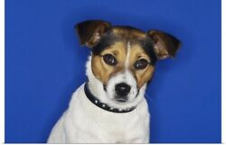 Poster Print Wall Art entitled Jack Russell Terrier Sitting Close-Up
