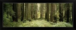 Redwood Sequoia Sempervirens Trees In Black Framed Wall Art Print, Tree Home