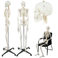 Medical 70.8 Anatomical Human Skeleton Life Size Model With Rolling Stand