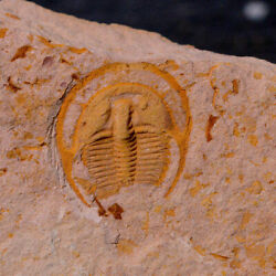 Rare Palaeoharpes primigenius Trilobite Fossil for collectors 71999 $999.00
