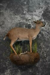 Sku 1562 African Blue Duiker Taxidermy Mount Extremely Soft
