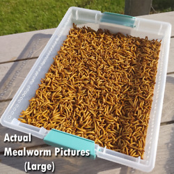 Live Mealworms FREE Shipping Bulk Grown Organic in Florida 250 10000 M L