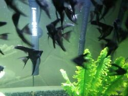 Beautiful Black Veil Angels Dime Size Body 6 Fish
