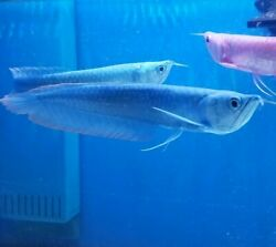 Blue Berry Arowana 8+ Inches Live Fish Imported From Asia. Best Any Were