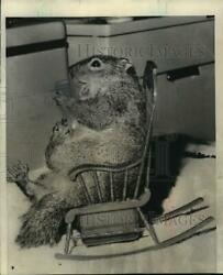1964 Press Photo Callie The Squirrel Has Its Own Rocking Chair - Mjb92885
