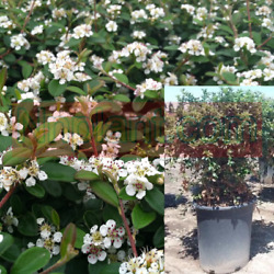 Cotoneaster Lowfast Plant Bearberry Cotoneasters 5gallon A+ Live Plant