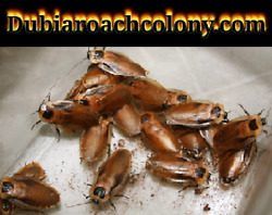 Discoid Roach STARTER COLONY ** PREGNANT females INCLUDED** Nymphs FLORIDA LEGAL