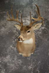 Drop Tine Whitetail Taxidermy Shoulder Mount For Sale Sku 1910