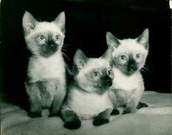 A charming trio of siamese. Vintage photograph 1926968