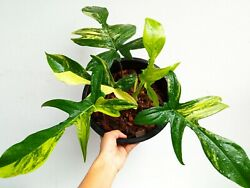 Philodendron Florida Beauty Half Moon Variegated Super Beauty