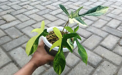 Real Pict Philodendron Florida Beauty Variegated Free Phytosnitary + Dhl Express