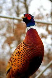 12 Ring-necked Pheasant Hatching Eggs