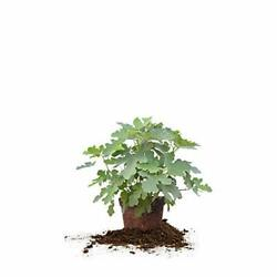 Perfect Plants Brown Turkey Fig Tree Live Plant 3 Gallon Includes Care Guide