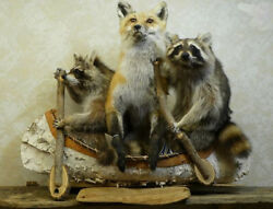 Noahand039s Ark- Two Raccoons One Fox Professional Taxidermy Mounted Animal Statue