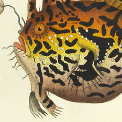 1783rare Shaw And Nodder Painted By Hand Engraving Harlequin Lophius V9a