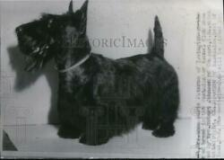 1941 Press Photo Heather Patience best of breed Scottish Terrier-Westminster