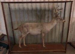 TROPHY Deer Life Size Mount In Wood And Glass Case. Museum Quality Taxidermy.
