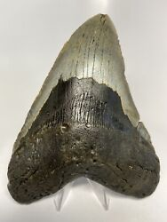 """Megalodon Shark Tooth 6.20"""" Large - Curved Fossil - No Restoration 6143"""