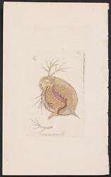 Shaw And Nodder - Flea Monoculus. 364 1793 Miscellany Rare Hand-colored Engraving