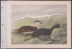 Brasher - Scoter. 3-163 1931 Birds Of North America Hand-colored Collotype