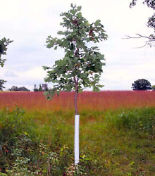 Plantra Trunk Saver Solid Wall Tree Guard Stem amp; Bark Protection Qty 60