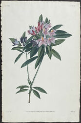 Prevost - Rhododendron. 48, 1805 Collection Hand-colored Stipple Engraving