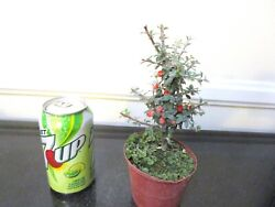 Cotoneaster For Blooming Mame Shohin Bonsai Tiny Leaves Multiple Listing