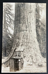 Mint Usa Real Picture Postcard Quodruped Tree Lilly Redwood Park