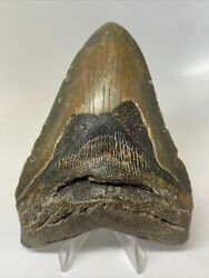 """Megalodon Shark Tooth 4.72"""" Beautiful - Real Fossil - Natural 10401"""
