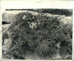 1974 Press Photo Cotoneaster, A Ground Cover For Steep Hillsides. - Pia04129