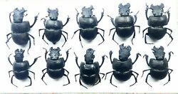 beetles insect bugs Geotrupidae Lethrus apterus 10рс
