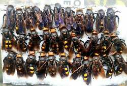 beetles insect Megascolia maculata from South Ukraine 32 рс