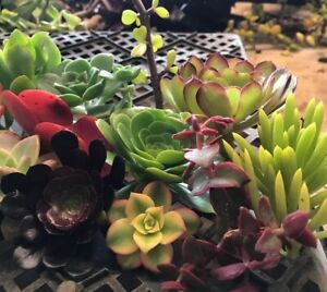 22 Huge Assorted Succulent Cuttings In 22 Varieties, Each Cutting Different Gift