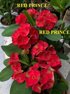 Crown of thorn plants (RED PRINCE) TALLEST 18 INCHES. THAI HYBRID. WITH BRANCHES
