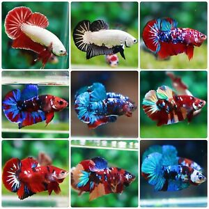 Live Betta Fish High Quality Halfmoon Plakat WHOLESALE PRICE FOR LIMIT TIME $18.95