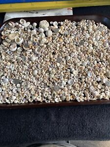 SUPER LOT HAWAII PUKA SHELL shells Pukashells Hawaiianpukas LQQK PLENTY
